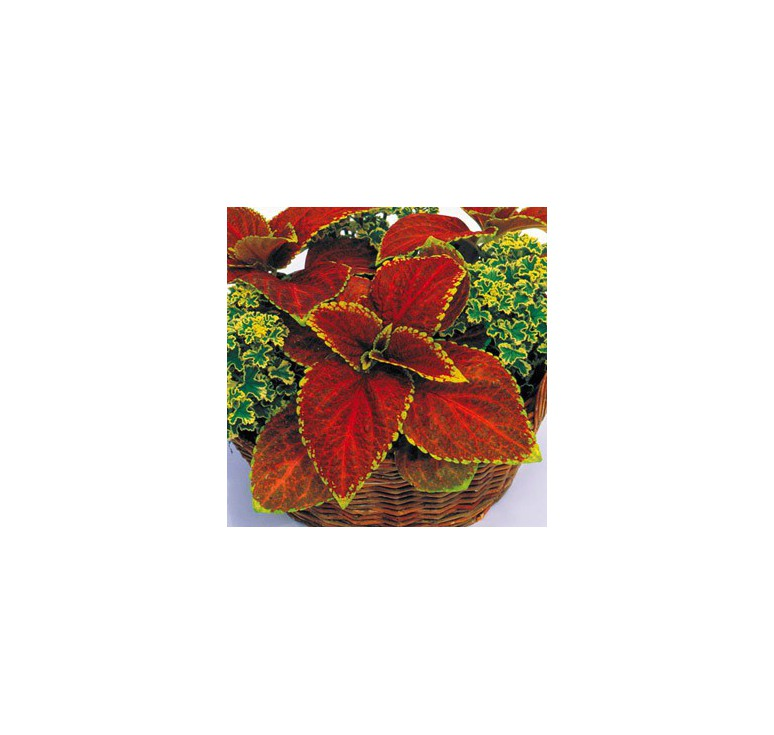 Колеус Giant Exhibition Rustic Red 5 шт семян