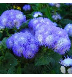 Агератум Fields F1 Blue семена 0,3 грамма