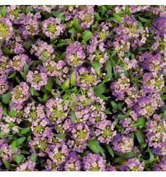 Алиссум Easter Bonnet Lavender 10 шт семян