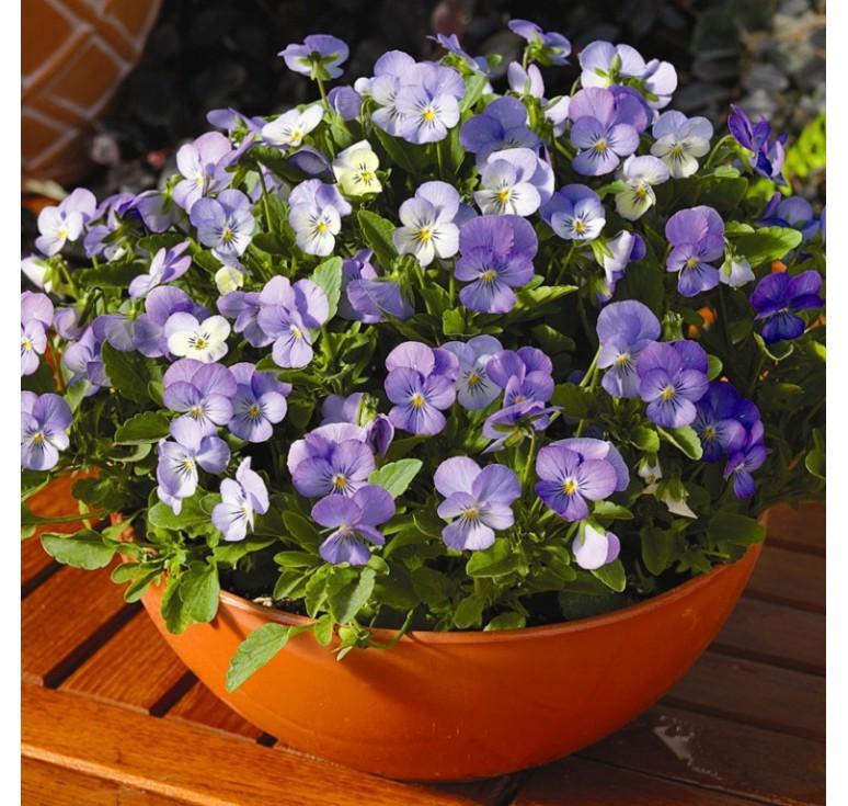 Виола Endurio F1 Sky Blue Martien 5 шт семян