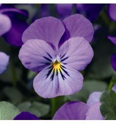 Виола ампельная Endurio F1 Lavender 5 шт семян
