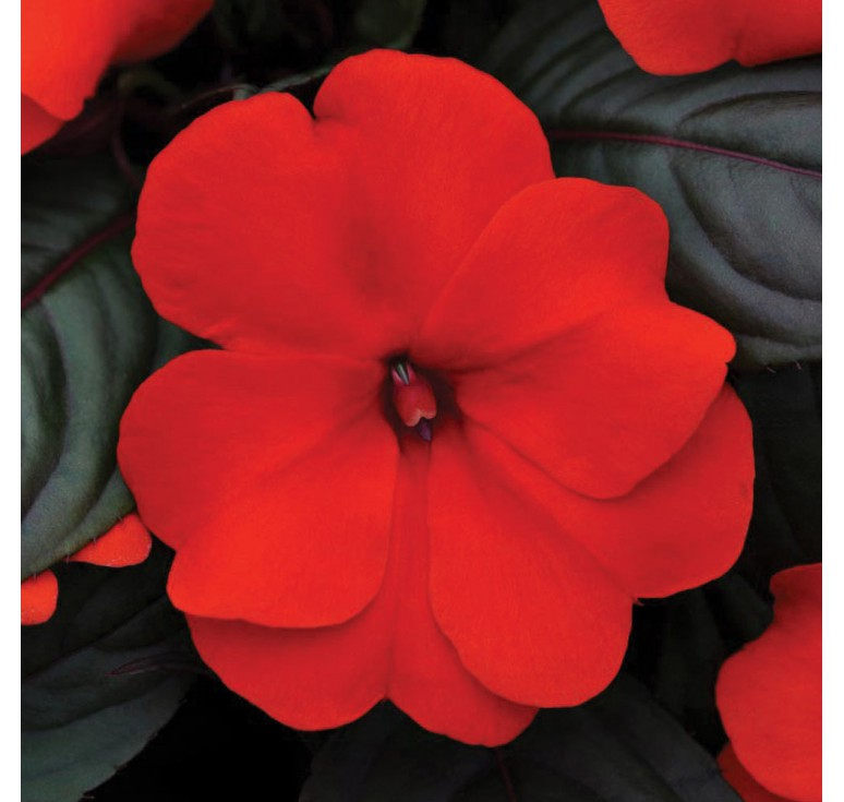 Бальзамин Новогвинейский  F1 Divine Orange Bronze Leaf 5 шт семян
