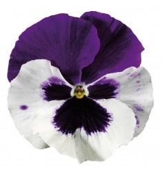 Виола Colossus White With Purple Wing 5 шт семян