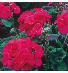 Пеларгония Night F1 Violet 5 шт семян