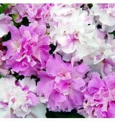 Петуния Double Cascade Orchid Mist F1 10 штук драже