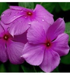 Катарантус Titan F1 Lilac 5 шт семян