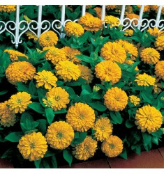 Цинния Dreamland F1 Yellow 5 шт семян