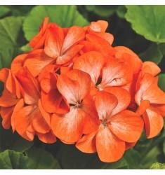 Пеларгония Pinto Premium F1 Orange Bicolor 5 шт семян