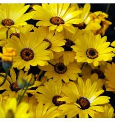Диморфотека Spring Flash Yellow 10 шт семян