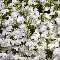 Лобелия Riviera White 5 шт мд