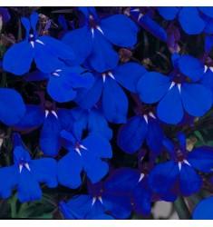 Лобелия Riviera Midnight Blue 5 шт мд