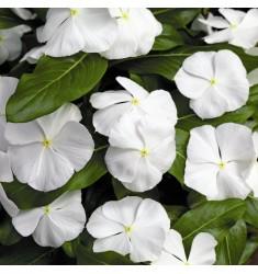 Катарантус Pacifica XP F1 White 10 шт семян