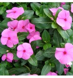 Катарантус Pacifica XP F1 Lilac 10 шт семян