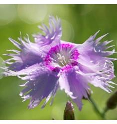 Гвоздика Venti Parfait F1 Lavender Blue 5 шт семян