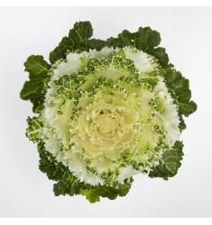 Капуста Tokio White 10 шт семян