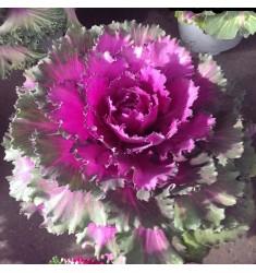 Капуста Tokio Rose 10 шт семян