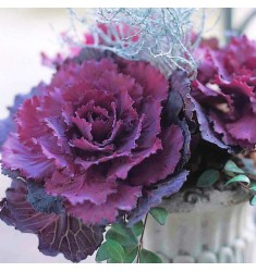 Капуста Pigeon F1 Purple 10 шт семян