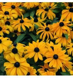 Рудбекия Becky Yellow 10 шт семян
