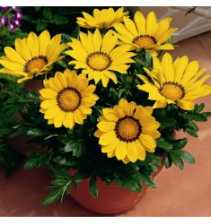 Газания Big Kiss F1 Yellow 5 семян