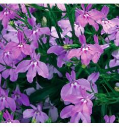 Лобелия Regatta Lilac 5 шт мд