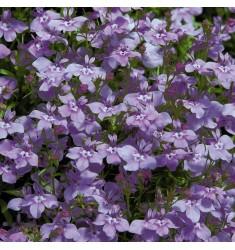Лобелия Regatta Lilac Splash 5 шт мд