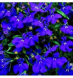Лобелия Regatta Midnight Blue 5 шт мд