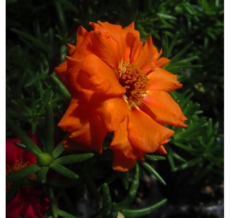 Портулак Happy Hour Orange 10 шт семян
