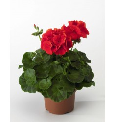 Пеларгония Ringo 2000 Cardinal 5 шт семян