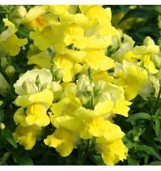 Львиный зев карликовый Floral Showers Yellow 10 шт семян