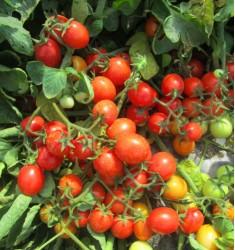 Томат Cezarino 5 шт семян