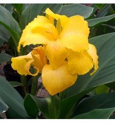 Канна Tropical Yellow 3 шт семян