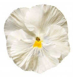 Виолы Сolossus White 5 шт семян