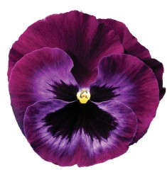 Виолы Сolossus Neon Violet 5 шт семян