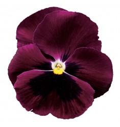 Виолы Сolossus Purple with Blotch 5 шт семян