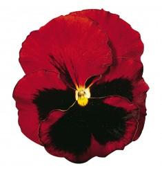 Виолы Сolossus Red with Blotch 5 шт семян