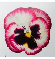 Виолы Сolossus Rose Medley 5 шт семян