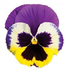 Виолы Сolossus Tricolor 5 шт семян