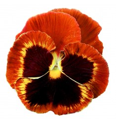 Виолы Сolossus Fire Surprise 5 шт семян