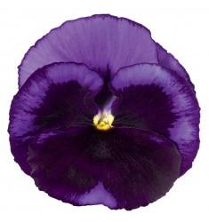 Виолы Сolossus Ocean 5 шт семян