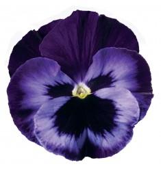 Виолы Сolossus Lavender Medley 5 шт семян