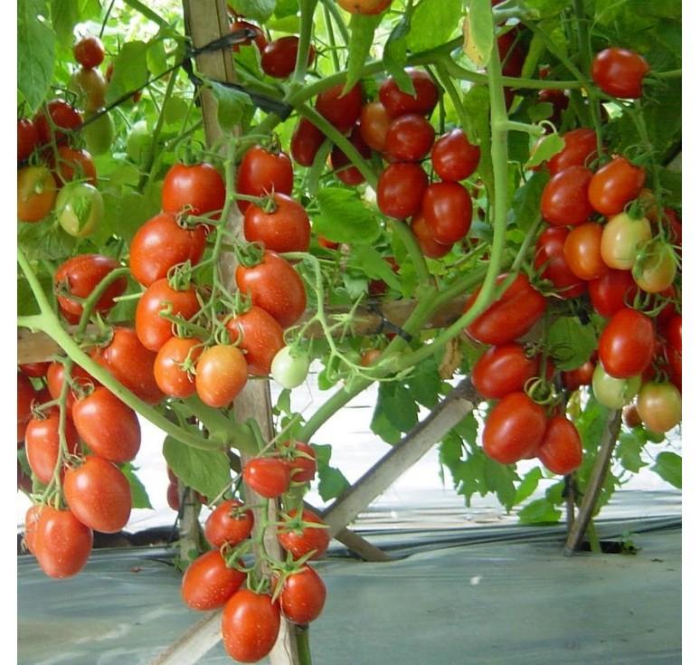 Томат Намиб F1  5 шт семян