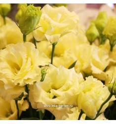 Эустома Mariachi Yellow 5 шт драже