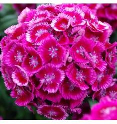 Гвоздика турецкая Sweet Magenta Bicolor 5 шт семян