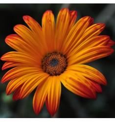 Диморфотека Spring Flash Orange 10 шт семян