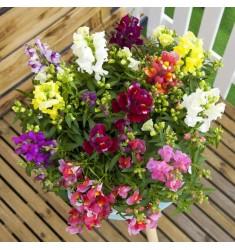Львиный зев карликовый Floral Showers Bicolor Mix 10 шт семян