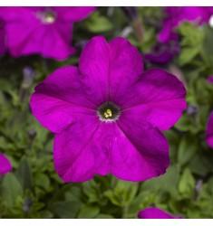 Петуния TriTunia F1 Violet 10 шт драже