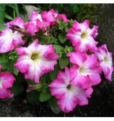 Петуния TriTunia F1 Pink Morn 10 шт драже