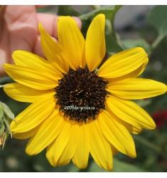 Подсолнечник Sunfinity Yellow with Dark Center 5 штук семян