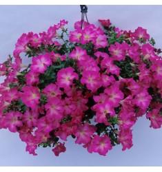 Черенки петунии Fanfare Cherry Blossom 1шт