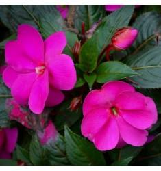 Бальзамин Новогвинейский F1 Divine Orchid 5 штук семян